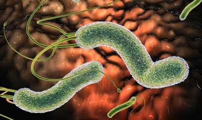бактерии рода хеликобактер
