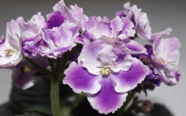 Фиалка - комнатное растение