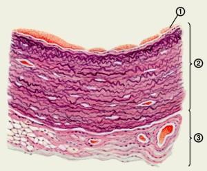 Стенка мочевого пузрыпя